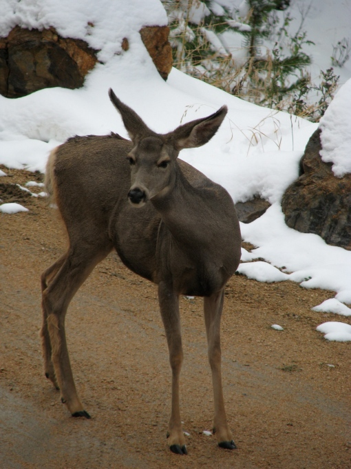 A mule deer in the driveway at Kristin's parents' house.