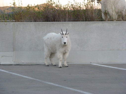 A mountain goat in the parking lot at Mount Rushmore.